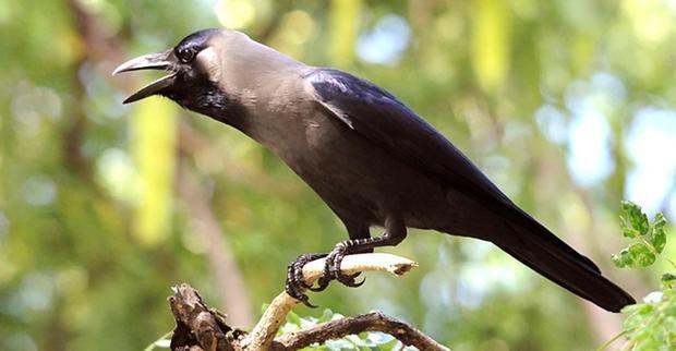 Crow Jothidam