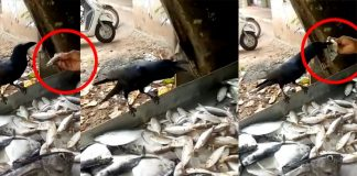 Crow Viral Video : The Crow that cries for fish Latest Videos, Viral Videos, Tamil nadu, India, Fish, The view is worth watching