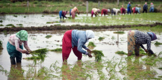 Central Goverment About Purchase of Paddy